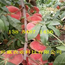 黑龙江哈尔滨5月成熟桃苗基地卖啥价格、桃树苗哪里有售图片
