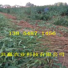 新疆双河晚熟桃树苗基地卖啥价格、桃树苗哪里有售图片