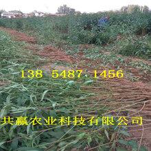 新品種桃苗哪里有賣、掛果新品種桃樹苗要賣多少錢一棵