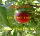 福建武夷山8月成熟桃苗基地卖啥价格、桃树苗哪里有售