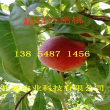 遼寧盤錦晚熟桃樹苗基地賣啥價格、桃樹苗哪里有售