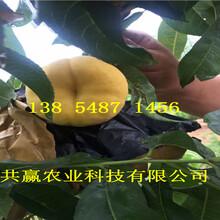 宁夏固原新品种桃树苗基地卖啥价格、桃树苗哪里有售图片