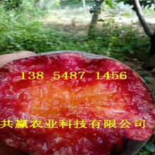 河南許昌桃樹基地價錢、晚熟桃樹苗哪里有賣