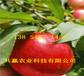 掛果油蟠桃樹苗育苗基地、桃樹苗新品種價格