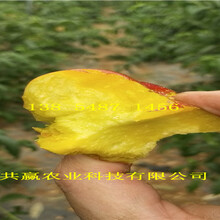 四川自贡桃树基地价钱、秋彤桃树苗哪里有卖图片