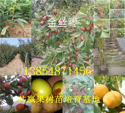 青枣树苗种植技术、青枣树苗新品种批发