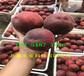 內蒙古通遼附近油蟠桃樹苗多少錢賣