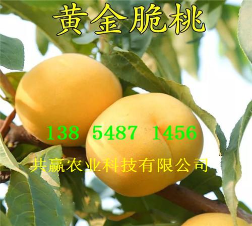 河北沧州附近5月成熟桃苗多少钱卖