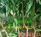 3年黃桃樹苗、黃桃樹苗種植基地報價