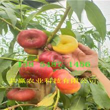 3年10月成熟桃苗主产区价格图片