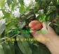 5年早熟新品種桃苗、早熟新品種桃苗基地批發