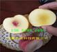 內蒙古阿拉善盟附近黃金密桃樹苗多少錢賣