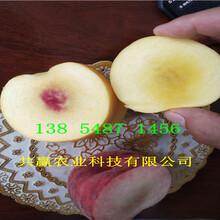 挂果晚熟桃树苗种植介绍图片