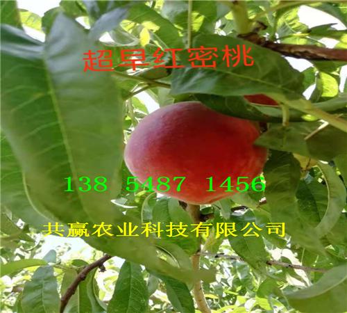 河北承德36-5蟠桃树苗多少钱卖一棵、2年桃树苗