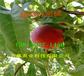 廣東河源附近晚熟桃樹苗多少錢賣