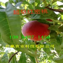 挂果早熟蟠桃树苗新品种价格图片