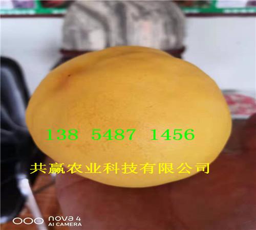 5月成熟桃苗哪里出售、2年5月成熟桃苗种植技术