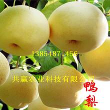 3-5公分红梨树苗订购优惠图片