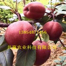 2-3公分满天红梨树苗基地批发图片