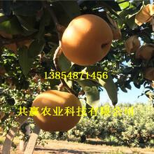 2-3公分7月成熟梨树苗批发基地图片