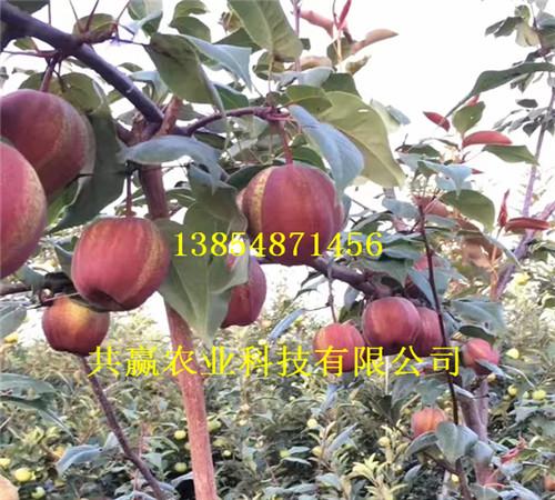 2年满天红梨树苗育苗基地
