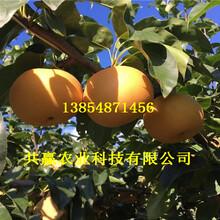 5年新品种梨树新品种价格图片