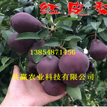 5年满天红梨树苗批发价格图片