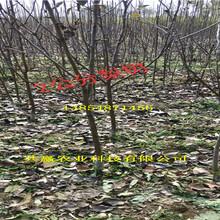 2年7月成熟梨树苗主产区批发价格图片