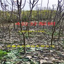 3年红梨树苗品种介绍图片