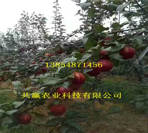 3-5公分新品种梨树、新品种梨树新品种价格