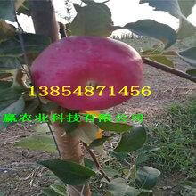 山西晋城苹果树哪里卖、烟富苹果树苗种植基地报价图片