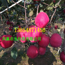3年短枝苹果树苗、短枝苹果树苗基地便宜图片