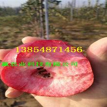 短枝苹果树苗近期批发多少钱、2公分短枝苹果树苗报价图片