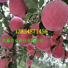 5公分富士苹果树苗、富士苹果树苗种植技术图片