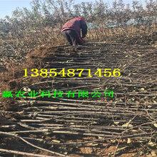 1年苹果树苗、苹果树苗基地送货图片