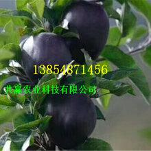 3年烟富苹果树苗、烟富苹果树苗订购优惠图片