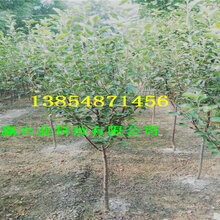 红肉苹果树苗种植介绍、2年红肉苹果树苗报价图片
