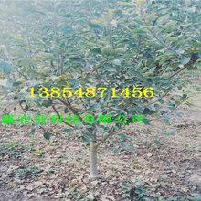 河南长葛矮化苹果树苗一亩土地种植多少棵图片