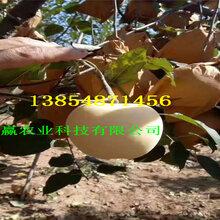 云南德宏苹果树苗有发展前景吗图片