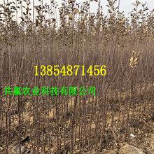 晚熟苹果树哪里有出售的、2年晚熟苹果树报价图片