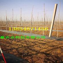 富士苹果树苗品种介绍、3年富士苹果树苗报价图片