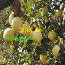 安徽和苹果树哪里卖、早熟苹果树亩产多少斤图片