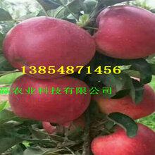 红肉苹果树苗基地最近卖什么价格、2公分红肉苹果树苗报价图片