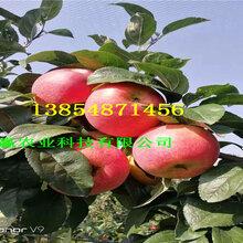 晚熟苹果树哪里有卖的、3公分晚熟苹果树报价图片