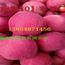 挂果早熟苹果树、早熟苹果树订购优惠图片