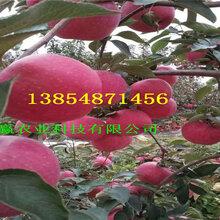 山东东营短枝苹果树苗主产区批发价格图片