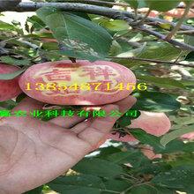 1公分短枝苹果树苗、短枝苹果树苗种植时间图片