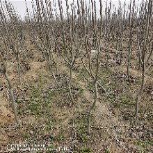 3年烟富苹10果树苗栽种技术图片