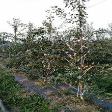 3公分新品种苹果树送货报价图片