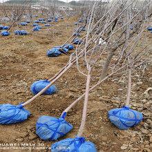 河南商丘3公分早熟蘋果樹賣的價格圖片